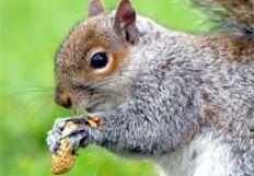NuttySquirrel