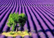 LavenderMeerkat