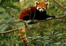 chai_the_red_panda