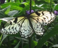 Butterflyminder