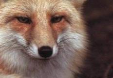 FoxLion