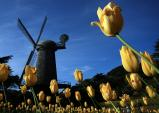 Windmills & Tulips