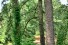 Longleaf Pine 3