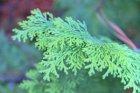 Pine 5