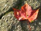 Rainbow Maple