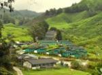 Tea plantation'