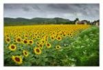 Sunflowers O11