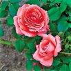 Rosey Dawn