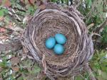 Robins Eggs Blues