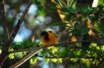 Masked Weaver Bird