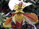 Saffron orchid