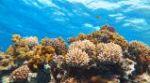 korall1