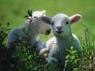 Spring Lamb Twins