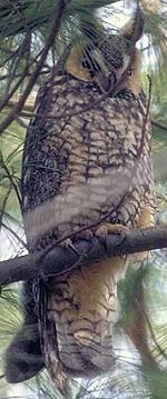 Long-eared Owl Scowl