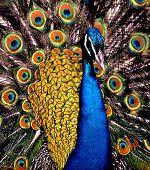 PeacockFeatherWeave