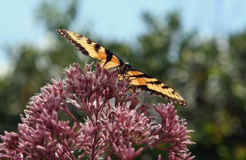 Butterfly &amp; Joe Pye Weed