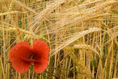 El ababol y el trigo / The poppy and the wheat
