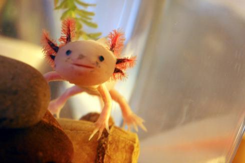 Axolotl_**