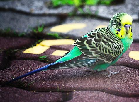 Midget Parrot