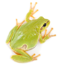green-yellow frog