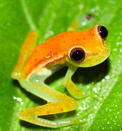 christmas tree frog