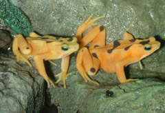 golden frog pair