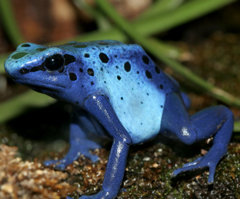 blue poison arrow frog