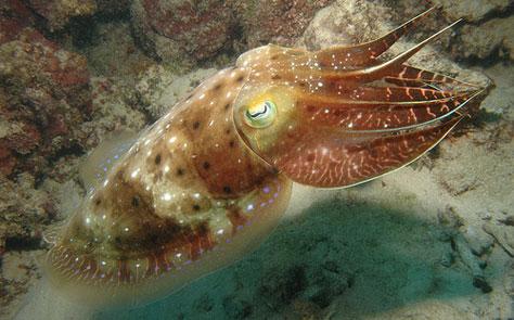 bioluminscent cuttlefish