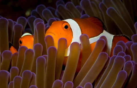 clownfish pair in anemone