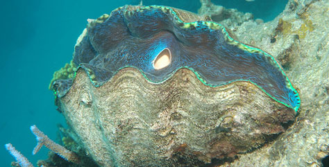 coral-side giant clam