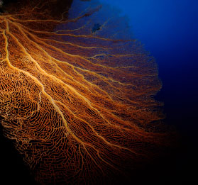 large orange seafan