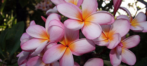 Plumeria Flower - Hawaii