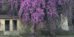 purple flowering tree