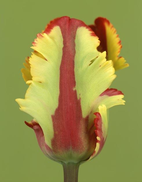 Ron van Dongen's, Tulipa 'Flaming Parrot'