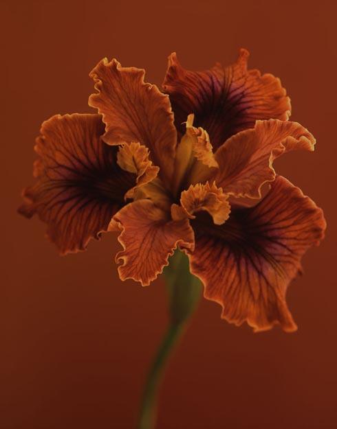 Ron van Dongen's, Iris douglasiana 'N. Erickson'