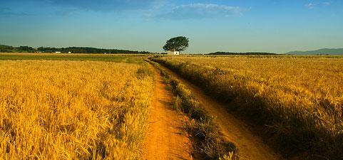 yellow_field.jpg