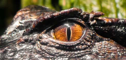 alligator1.jpg