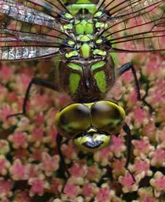 dragonfly5.jpg
