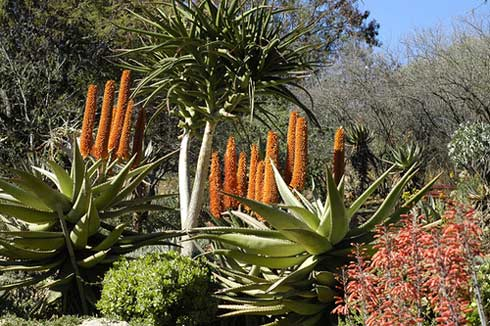 South-African-Aloes-by-Mart