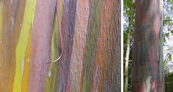 rainboweucalyptus1