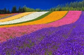 Furano-Flower-Fields-Hokkaido-–-Japan