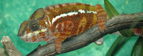 The Conspicuous Colors Of Chameleons