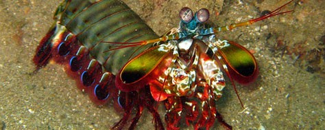 Beyond the Rainbow with the Mantis Shrimp