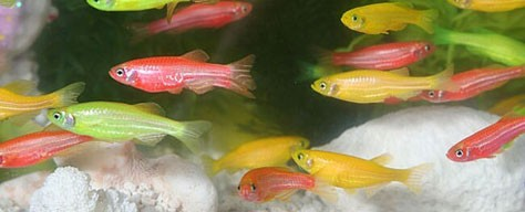 Genetically Modified Color: GloFish