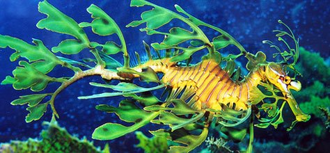 Color In Nature: Leafy & Weedy Seadragons