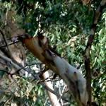 eucalypt bark brown
