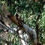 eucalypt bark pink