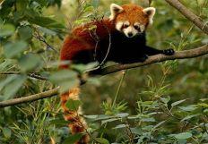chai_the_red_panda