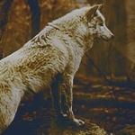 pyritewolf