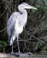 Blue Heron Rising